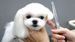 Download [도그미] 말티즈에게 단발령이 내려진다면 ? , Dog Grooming Video