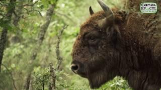Download Los bisontes de la Montaña Palentina Video