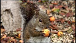 Download Drunken Squirrel Video