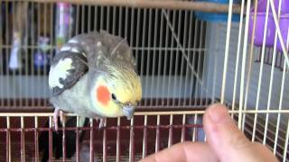 Download Petting my Cockatiel Perlie. He bows his head to be pet Video