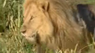 Download King Lions Take Over a New Pride | Wildlife | BBC Studios Video