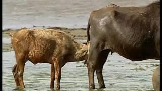Download Documentaire Animalier Chroniques de l'Asie Sauvage DVD 3/3 Video