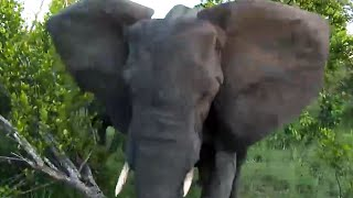Download Angry Elephant Charges & Stabs Vehicle While on a LIVE Streaming Safari!! Video