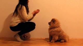 Download My trained chow chow Video