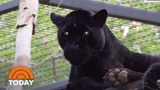 Download Jaguar Attacks Woman Who Jumped Zoo Barrier For Selfie | TODAY Video