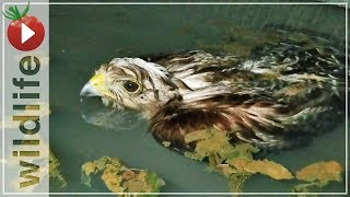 Download Hawk Rescued From Drowning, His Reaction Was... Video