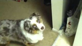 Download Artemis my Australian Shepherd wants food Video