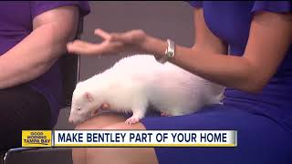 Download Rescues in Action April 21: Bentley, a pet skunk, needs a home Video