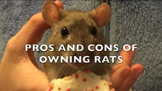 Download The Pros and Cons of Fancy Rats as Pets Video
