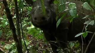 Download Saving the endangered species of Borneo: Sumatran Rhinos Video
