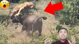Download Ối Trâu Rừng Điên Tiết Hạ Gục Sư Tử Mạnh Nhất Châu Phi Video