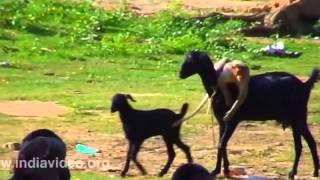 Download Cười nghiêng ngả xem khỉ trêu dê Video