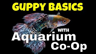 Download The Basics for Keeping and Breeding Guppies - Aquarium Co-Op Highlights Video