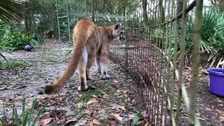 Download 3 Cougars Get Snacks 2017 12 28 Video