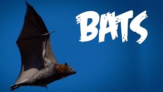 Download All About Bats for Kids: Animal Videos for Children - FreeSchool Video