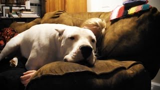 Download Big Dogs Thinking They're Lap Dogs 🐶 Funny Big Dogs [Funny Pets] Video