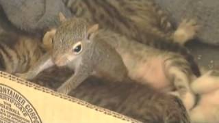 Download Mother cat adopts baby squirrel and teaches it to purr Video