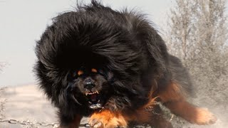 Download World's Top 10 MOST DANGEROUS Dog Breeds Video