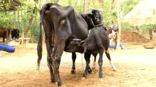 Download Calf drinking milk from extra holy black Indian cow Video
