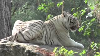 Download World's First White Tiger Safari & Zoo, Mukundpur Video