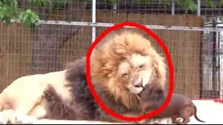 Download Esse Cachorro entrou na Jaula do Leão. O que Aconteceu Emocionou quem Passava Ali Video
