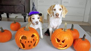 Download Halloween Pumpkin Carving w/Funny Dogs Maymo & Penny Video