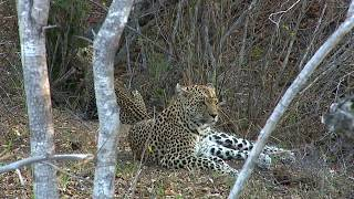 Download WE pay tribute to the great Leopard Queen of Djuma Karula! Video