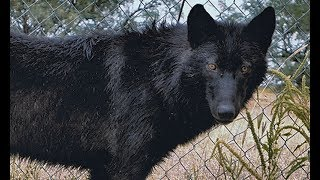 Download Girl Survives Wolf Attack - Could YOU remain this calm? (CAUGHT ON CAMERA) Video