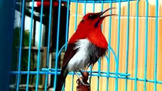 Suara Burung Sepah/ Mantenan Jantan di Alam Liar Free
