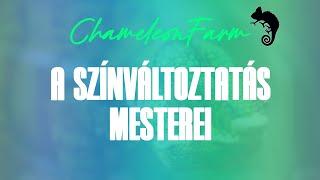 Download Kaméleonok - A színváltoztatás mesterei | Chameleons: Masters of disguise Video