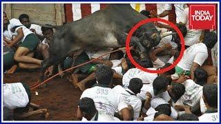 Download 2 Dead, 8 Injured During Jallikattu Event In Pudukottai Video