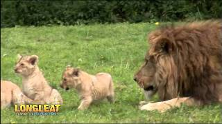 Download Quartet of Lion Cubs Take Their First Steps Outside at Longleat Video