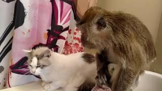 Download Angel the Monkey demands cat to groom HER Video