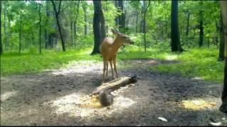 Download Fox and Deer Video