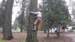 Download My first attempt at tree climbing with spurs Video