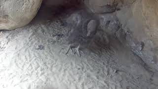 Download Condor Chick Stretches Out Before Greeting The Day – July 11, 2018 Video