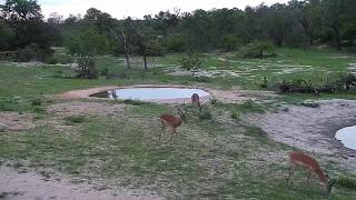 Download Djuma: Impala rams all wound up chasing and snorting like in rut - 18:20 - 12/13/19 Video