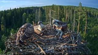 Download Dominance of osprey's chicks / Estonian Osprey nest Video