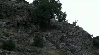 Download Dağ Keçileri , Dersim-Pertek ( Derenahiyesi ) Video