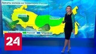 Download Гигантский волк из Якутии попал в силки. Хищник вдвое больше обычного Video