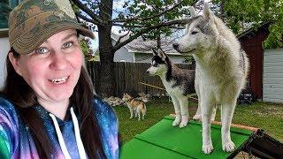 Download Huskies Get A BIG Surprise ! Video