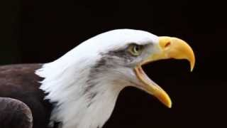 Download Call of a Bald Eagle Video
