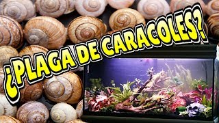 Download 🐌Controlar plaga de caracoles en el acuario || Caracol Helena Video