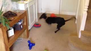 Download Greyhound Puppy Playing with Squeaky Toy Video