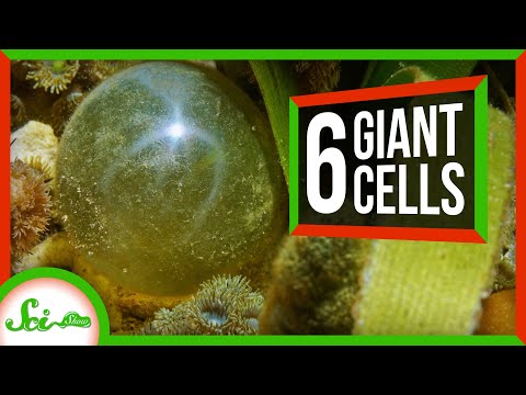 6 of the Biggest Single-Celled Organisms