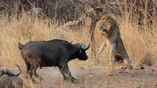Download 1 Male Lion vs 100 Buffaloes - The Courage Of A Male Lion Video