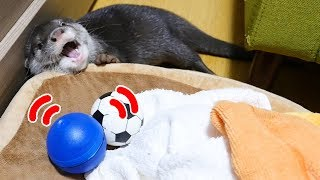 Download 動くボールでカワウソのビンゴと遊んでみた!(Otter Bingo playing with rolling ball) Video