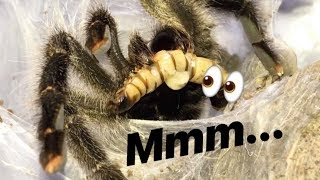 Download FEEDING all the TARANTULAS that STAY in MY ROOM !!! Video
