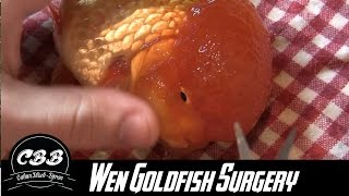Download Oranda Goldfish Wen Surgery/Trimming/Removing Video