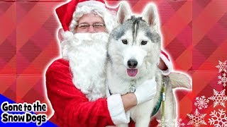 Download Memphis the Husky Meets Santa | Dog Goes Shopping at Petco | Husky Petco Haul Video
